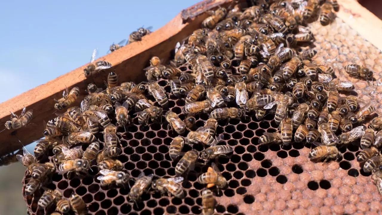 نيوزيلندا وأستراليا يتواجهان بمرارة ... على العسل